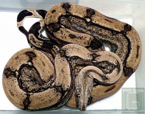Boa constrictor morphs - gothic arabesque - ken saylor, photo by phil goss