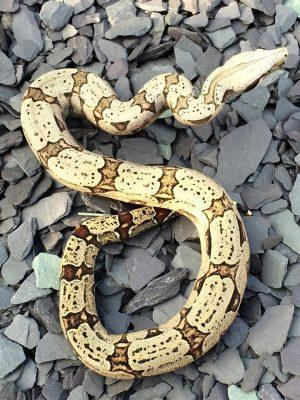 Lemke line B. c. amarali — Contributed by Helen Curtis