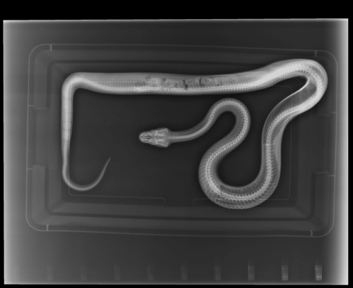 Boa Constrictor Health - sick boa x ray