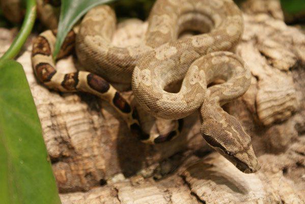 Boa constrictor subspecies - nebulosa5 - sebastian holch