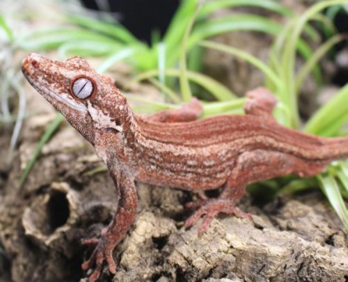 Nightshift Exotics and ReptiFiles - Gargoyle Gecko Accessories & Decorations