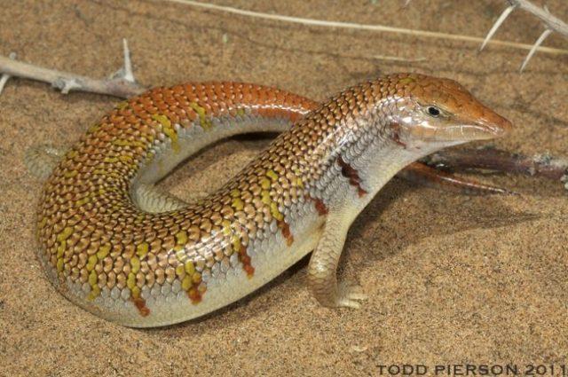 S. mitranus - Scincus Species List
