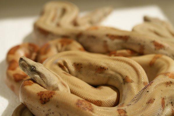 Boa constrictor subspecies - sabogae2 - Sebastian Holch