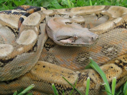 Boa constrictor subspecies - sonoran imperator3 - calvert reptiles