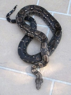 Boa constrictor morphs - type 2 anerythristic baby - dana johnson