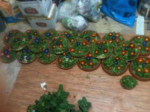 Primrose variety