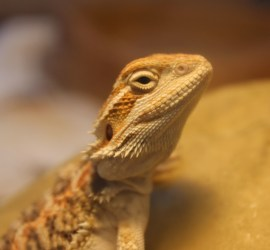 Hatchling Bearded Dragon
