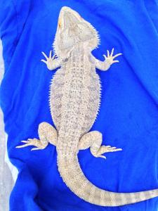 """Void Morph""  Bearded Dragon Tundra Dragons"
