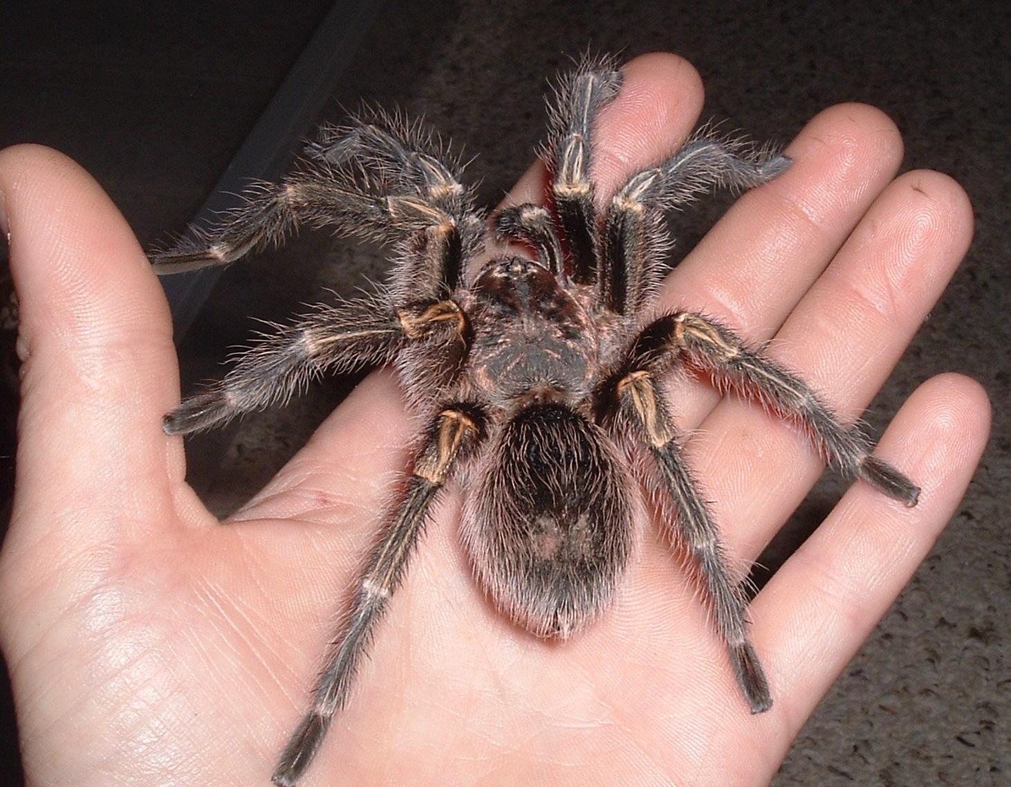 руку тарантул фото сибирь видно белые
