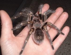 Golden Knee Tarantula in hand