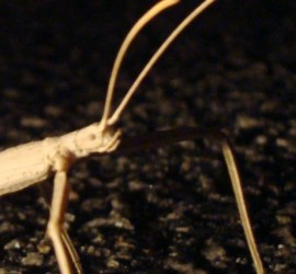 Walking Stick Phasmid