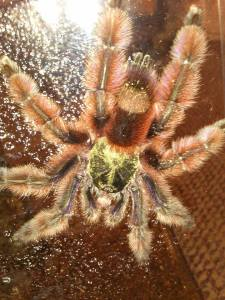 Avicularia versicolor courtesy of Inverts Unlimited