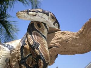Ball Python (Python regius) Snake on a tree