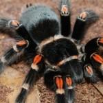 red and black tarantula
