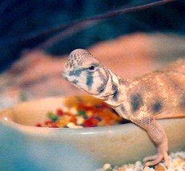 Uromastyx species