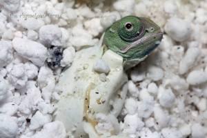 hatchling veiled chameleon