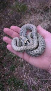 Wild Caught Adult Hypomelanistic Grass Snake
