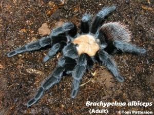 brachypelma albiceps adult specimen