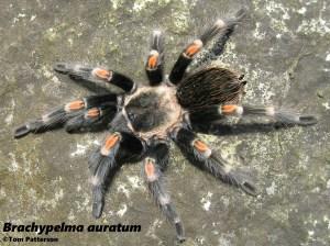 brachypelma auratum tarantula Mexican Flameknee