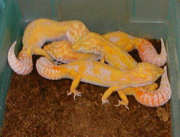 Leopard Gecko Breeding Part 3 | PairingLive Leopard Gecko Hatching