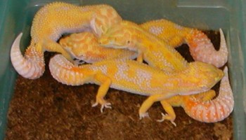 Leopard Gecko Breeding Part 6 Egg Laying And Incubation Part 2