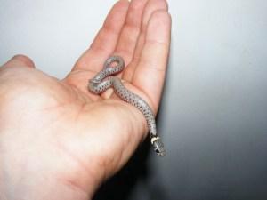 Hatchling Hypomelanistic Grass Snake