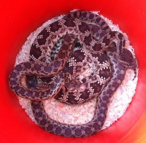 Rattlesnake (Crotalus sp.) and Gopher Snake (Pituophis sp.) rescue by Todd Cornwell