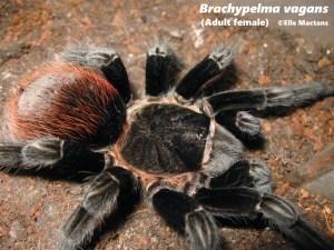 Mexican redrump tarantula brachypelma vagans