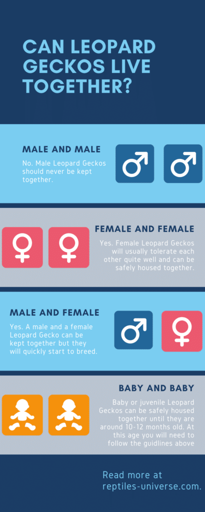 can leopard geckos live together infographic