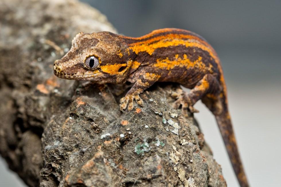 Rhacodactylus Auriculatus Gargoyle Gecko Reptilianostra