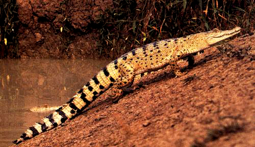 A young saltwater crocodile (Crocodylus porosus) using the high walk along the banks of an Aulstralian river.