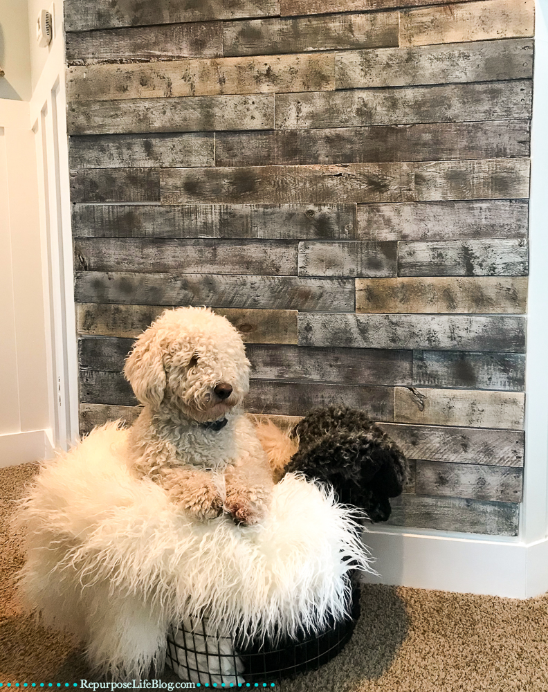 White Mini Goldendoodle puppy sitting in a metal basket on top of blankets. In front of a pallet board wall