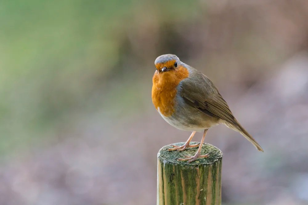 A robin sitting on a fence post