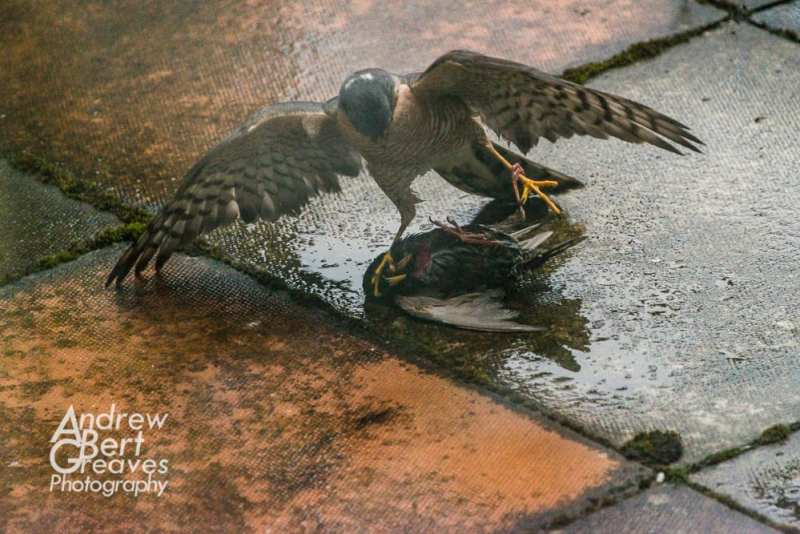 A sparrowhawk pinning down a starling