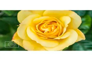 Yellow rose greetings card linking to Etsy store to buy