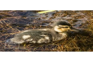 A duckling greetings card linking to Etsy store to buy
