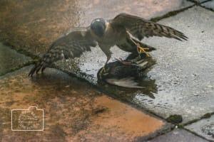 A sparrowhawk (Accipiter nisus) pinning down a starling (Sturnus vulgaris)