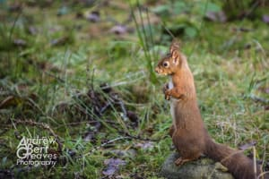 A red squirrel on its hind legs