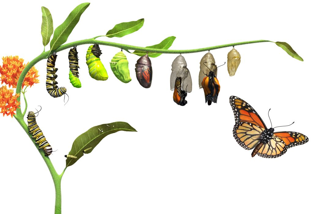 Image result for caterpillar to butterfly images