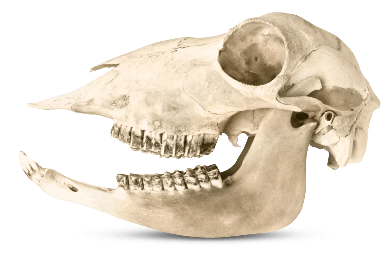 Animal Teeth