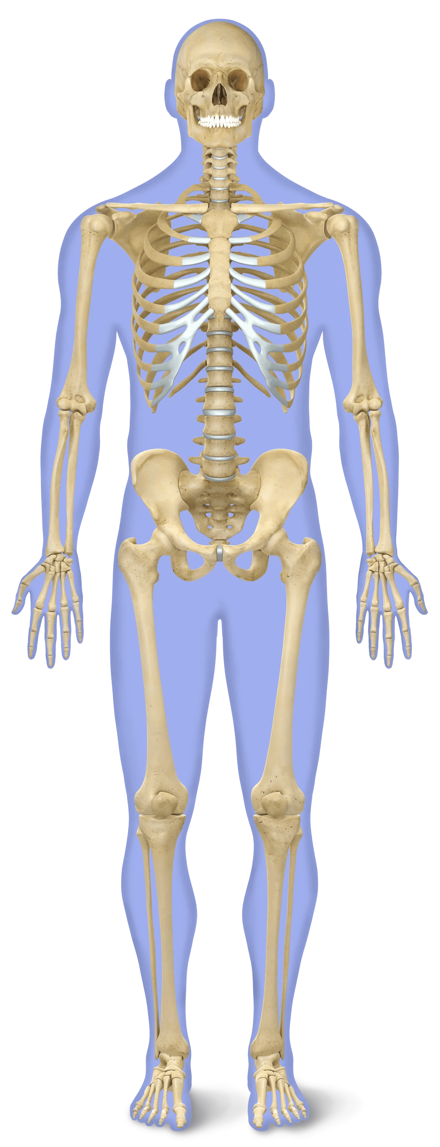 Number Of Bones In Human Body