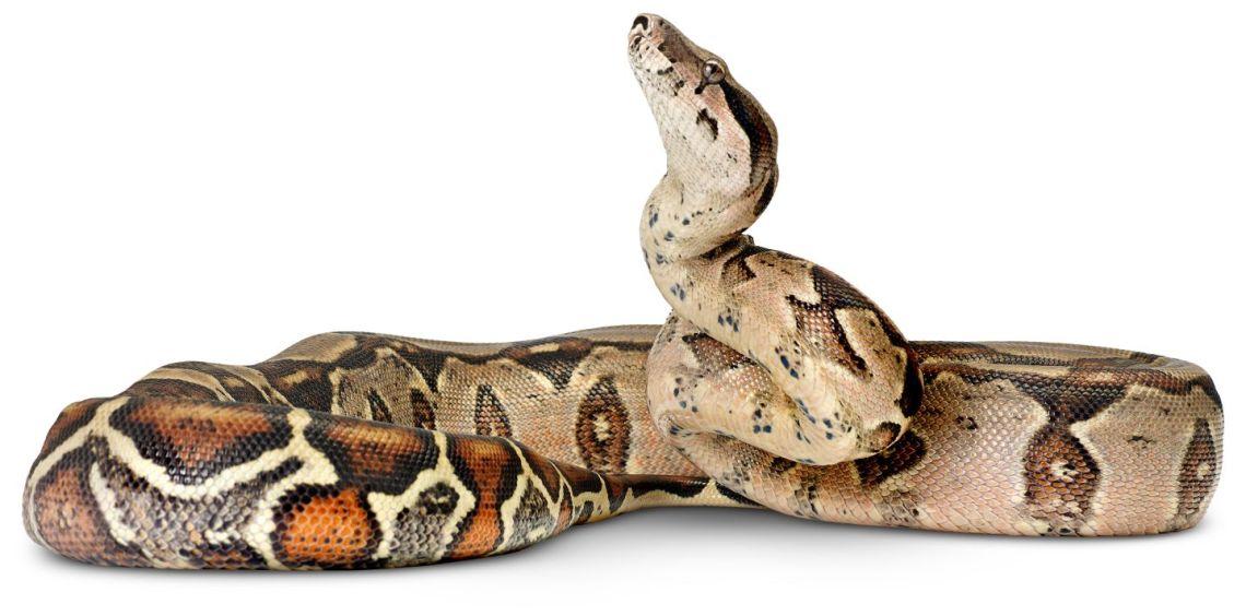 ular boa china