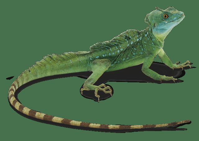 """Résultat de recherche d'images pour """"lizard"""""""
