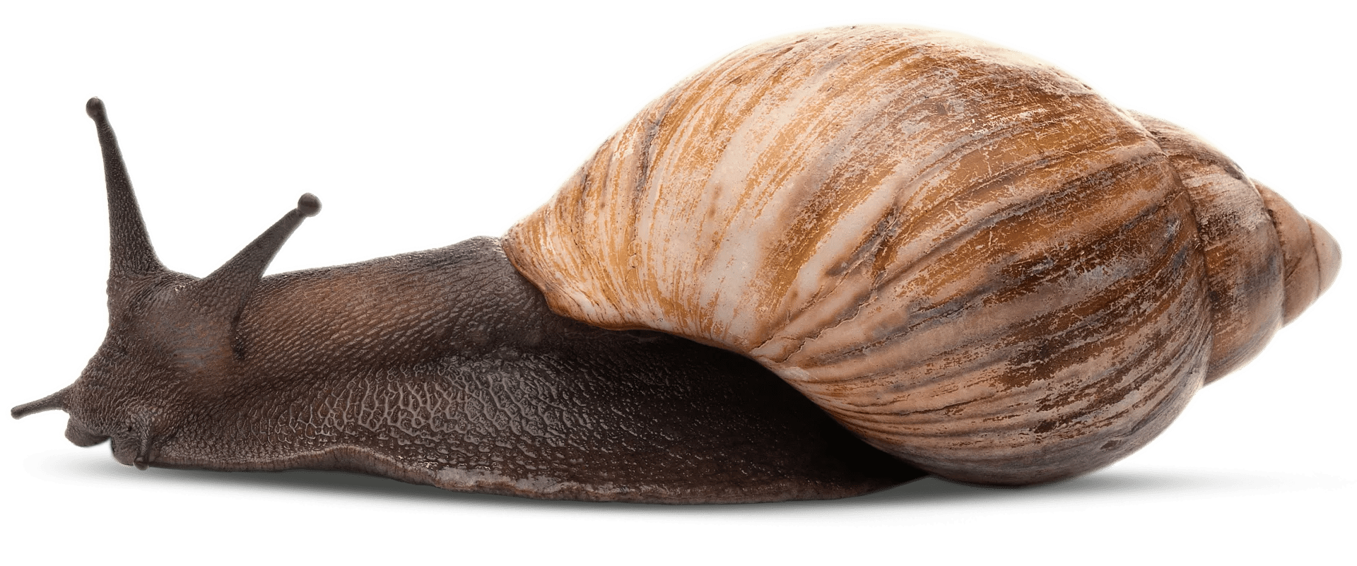 Giant African Snail Facts