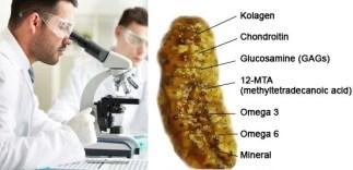 Hasil gambar untuk penelitian teripang emas