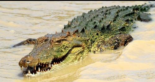 Ancient Crocodile
