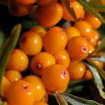 Sea Buckthorn - 2