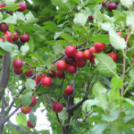 cherry plum prunus cerasifera