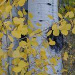 fall-aspens-close-up-197759-m