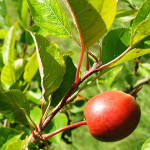 crab apple malus sylvestris